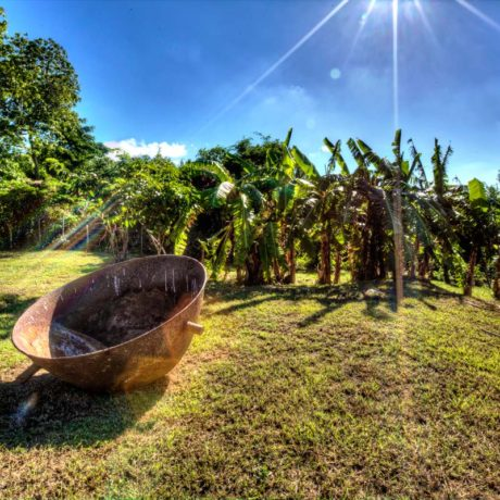 The banana grove at Casa Angular lines the southern border of the property at Casa Angular, luxury Vieques vacation rental villa.